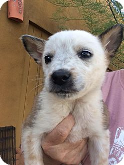 Australian Cattle Dog/Australian Shepherd Mix Puppy for adoption in Cave Creek, Arizona - Keegan