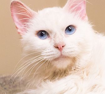 Domestic Longhair Cat for adoption in Chicago, Illinois - Avalanche