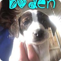 Adopt A Pet :: Boden - Garden City, MI