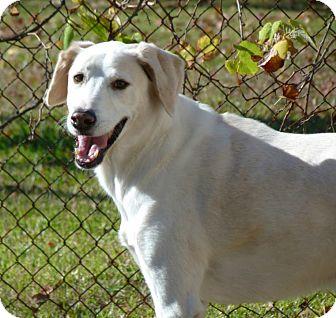 Great Pyrenees/Labrador Retriever Mix Dog for adoption in Houston, Texas - Nate