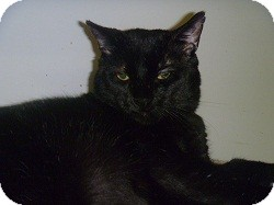 Domestic Shorthair Cat for adoption in Hamburg, New York - Mr. Pouch