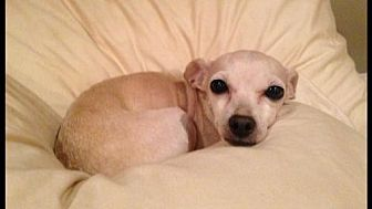 Chihuahua Dog for adoption in Fresno, California - Phillis