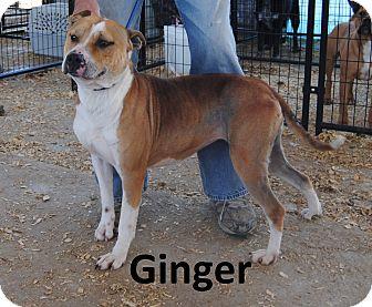 Pit Bull Terrier Dog for adoption in Leslie, Arkansas - Ginger