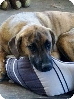 Black and Tan Coonhound/Boxer Mix Dog for adoption in Cookeville, Tennessee - Roxie