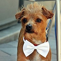 Chihuahua/Terrier (Unknown Type, Small) Mix Dog for adoption in Vista, California - Alfie