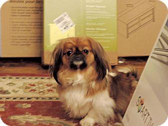 Pekingese Dog for adoption in Richmond, Virginia - Gizmo