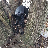 Adopt A Pet :: Loki - Acushnet, MA