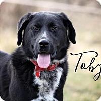 Adopt A Pet :: Toby - Joliet, IL