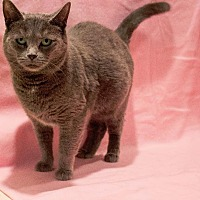 Domestic Shorthair Cat for adoption in Port Clinton, Ohio - Ella Blue
