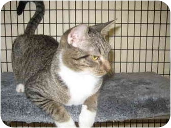 Domestic Shorthair Cat for adoption in Deerfield Beach, Florida - Cinderella