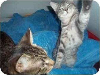 Domestic Shorthair Kitten for adoption in Little Neck, New York - buddies