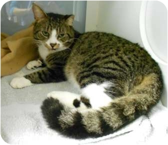 Domestic Shorthair Cat for adoption in Maywood, New Jersey - Buddy Boy