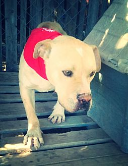 Labrador Retriever/Pit Bull Terrier Mix Dog for adoption in Odessa, Texas - Tucker