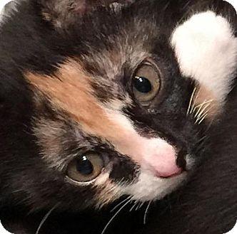 Domestic Shorthair Kitten for adoption in New York, New York - Susie