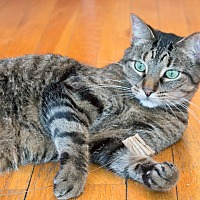 Adopt A Pet :: Tabitha - Chicago, IL