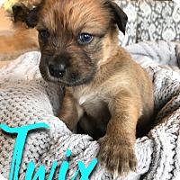 Adopt A Pet :: Twix - San Antonio, TX