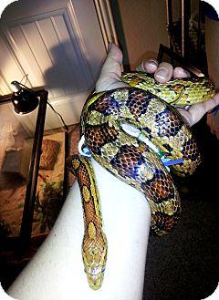 Snake for adoption in Arlington, Texas - Cornelius