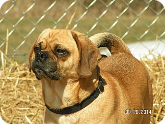 Pug/Beagle Mix Dog for adoption in Shelbyville, Kentucky - Eddie
