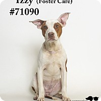 Adopt A Pet :: Izzy  (Foster Care) - Baton Rouge, LA