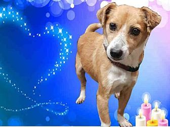 Chihuahua Mix Dog for adoption in Fairfield, California - MORRIS