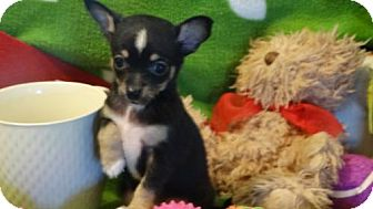 Manchester Terrier/Dachshund Mix Puppy for adoption in Vacaville, California - Feather