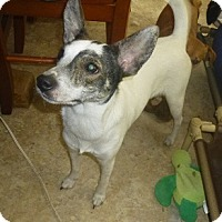 Jack Russell Terrier/Fox Terrier (Smooth) Mix Dog for adoption in Glastonbury, Connecticut - Melodie