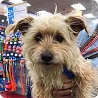 Adopt A Pet :: Hazel - Studio City, CA