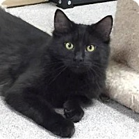 Adopt A Pet :: Emerald - Sterling Heights, MI