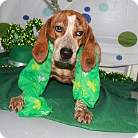 Adopt A Pet :: Sugar - Erwin, TN