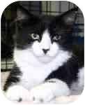 Ragdoll Cat for adoption in Lake Ronkonkoma, New York - Jezebelle