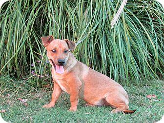 Terrier (Unknown Type, Medium)/Labrador Retriever Mix Puppy for adoption in Newburgh, New York - BOYD