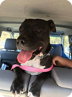 Pit Bull Terrier Mix Dog for adoption in Clarksville, Tennessee - June Bug