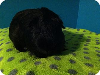 Guinea Pig for adoption in Coral Springs, Florida - Ink