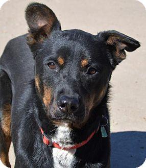 Shepherd (Unknown Type)/Labrador Retriever Mix Dog for adoption in Kansas City, Missouri - Bonnie