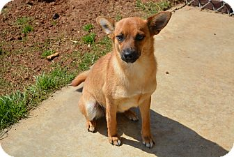 Terrier (Unknown Type, Small)/Shepherd (Unknown Type) Mix Dog for adoption in Granbury, Texas - Maggie