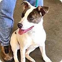Adopt A Pet :: Hope-URGENT/ADOPTED - Springfield, MA