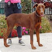 Adopt A Pet :: Bane - Lathrop, CA