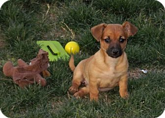 Corgi Mix Puppy for adoption in Phoenix, Arizona - Pancake