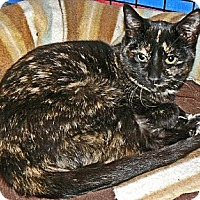 Calico Cat for adoption in Converse, Texas - Mallory