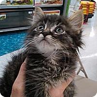Adopt A Pet :: Telstar - Sterling Hgts, MI