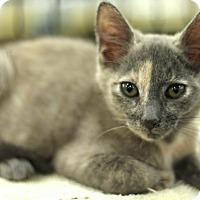 Adopt A Pet :: Munchkin - Sacramento, CA