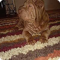 Adopt A Pet :: Kolby - Roseville, MI