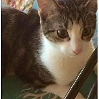 Domestic Shorthair Cat for adoption in Tucson, Arizona - Lillybeans