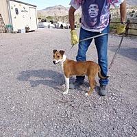Adopt A Pet :: Chaps - Golden Valley, AZ