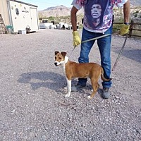 Shepherd (Unknown Type) Mix Dog for adoption in Golden Valley, Arizona - Chaps
