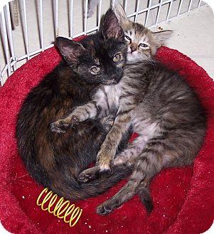 Domestic Shorthair Kitten for adoption in Richmond, Virginia - Suki
