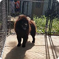 Adopt A Pet :: Bear - Antioch, IL