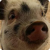 Adopt A Pet :: Parker Piglet - Las Vegas, NV