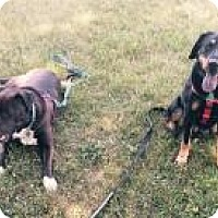 Rottweiler/Coonhound Mix Dog for adoption in Manchester, Connecticut - Brody