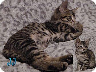 Domestic Shorthair Cat for adoption in Rosamond, California - JJ